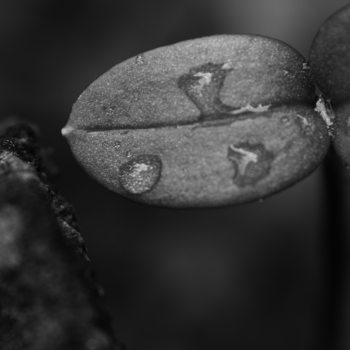A_sprout_on_an_old_wood_BW.png