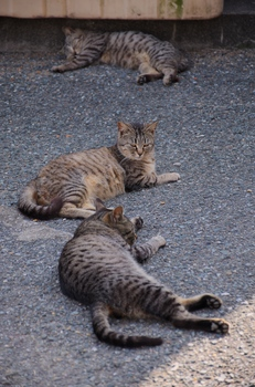 Clone cats.jpg