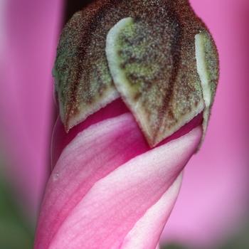 Spiral of cyclamen bud.jpg