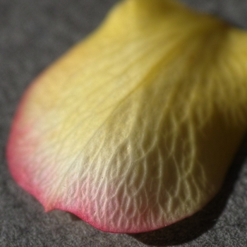 behind surface of the rose petal.jpg
