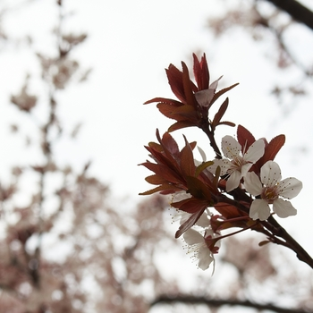 cherry blossoms and leaves.jpg