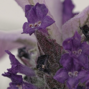 lavender_spp.jpg