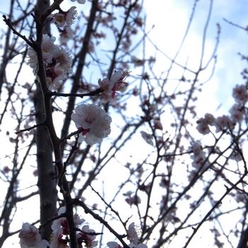 Blossoms of Ume.jpg