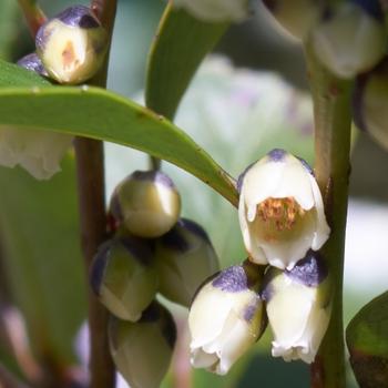 Eurya japonica Blossoms.jpg