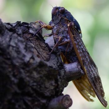 Graptopsaltria nigrofuscata.jpg