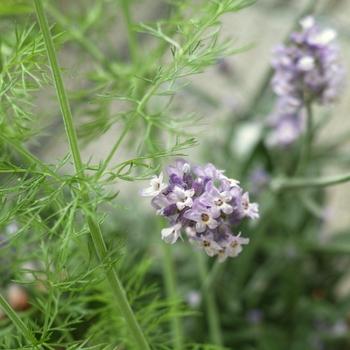 Lavandula_angustifolia_and_Foeniculum_vulgare.jpg