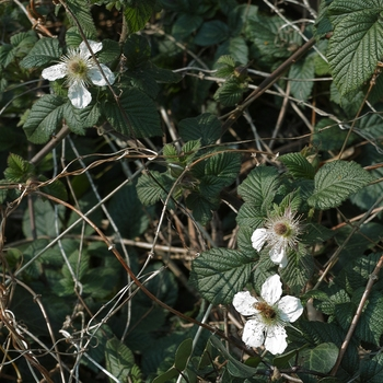 bramble_flowers.jpg