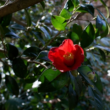 camellia_japonica.jpg