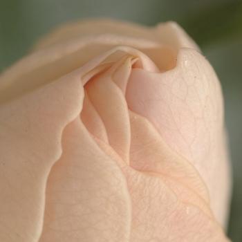 rose_petal.jpg