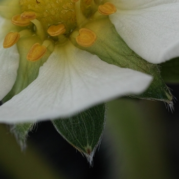 strawberry flower  in summer.jpg
