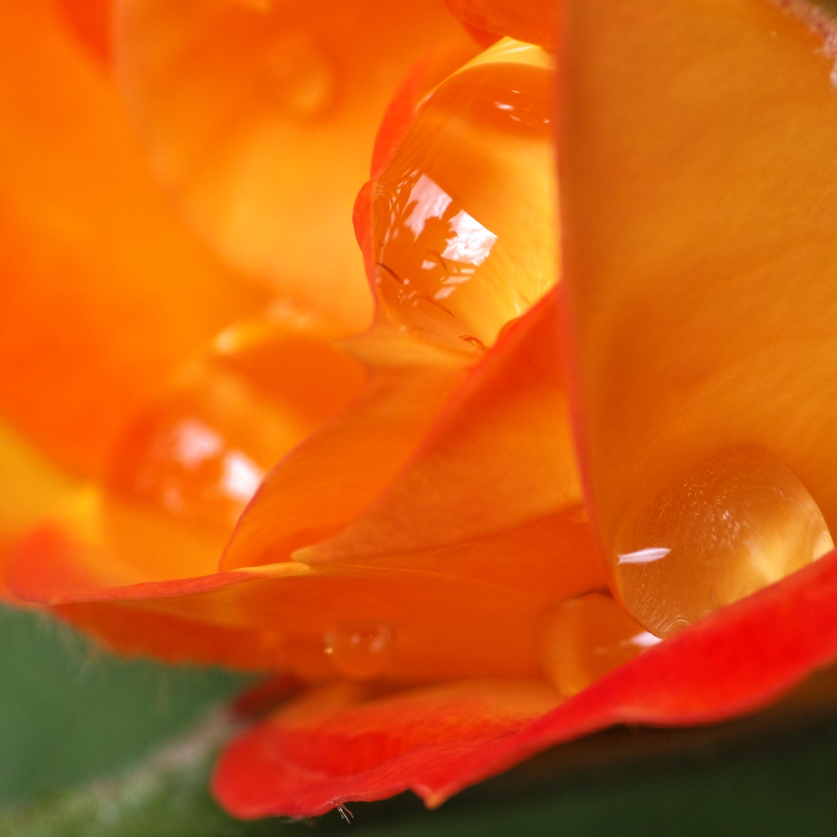 water drops on rose petals.jpg